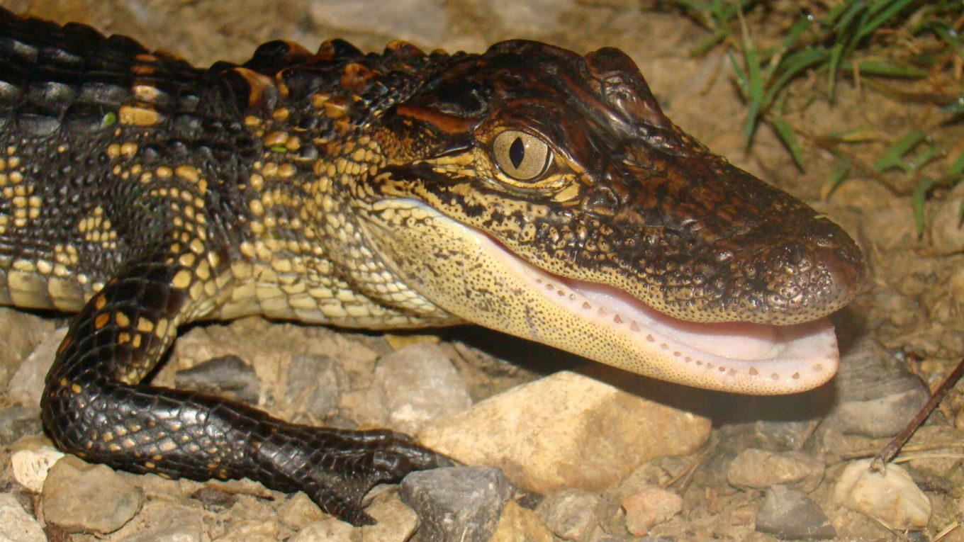 About Blue-Tongued Skinks