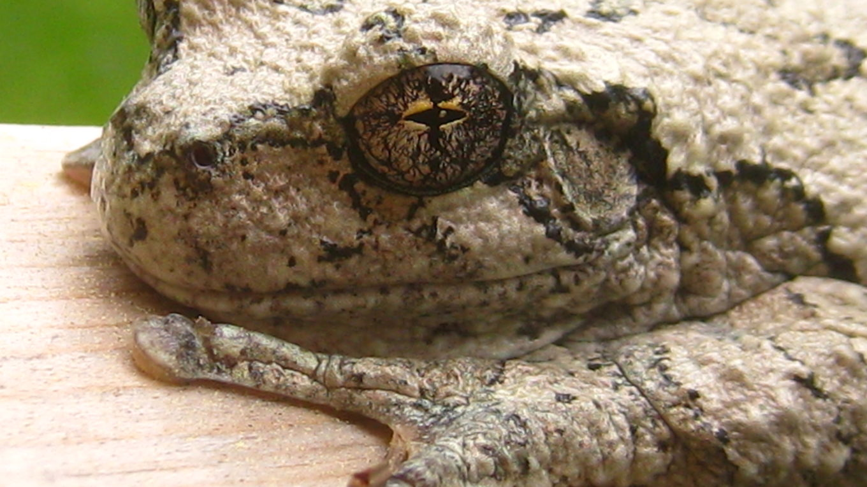Iguana Breeding Season Aggression