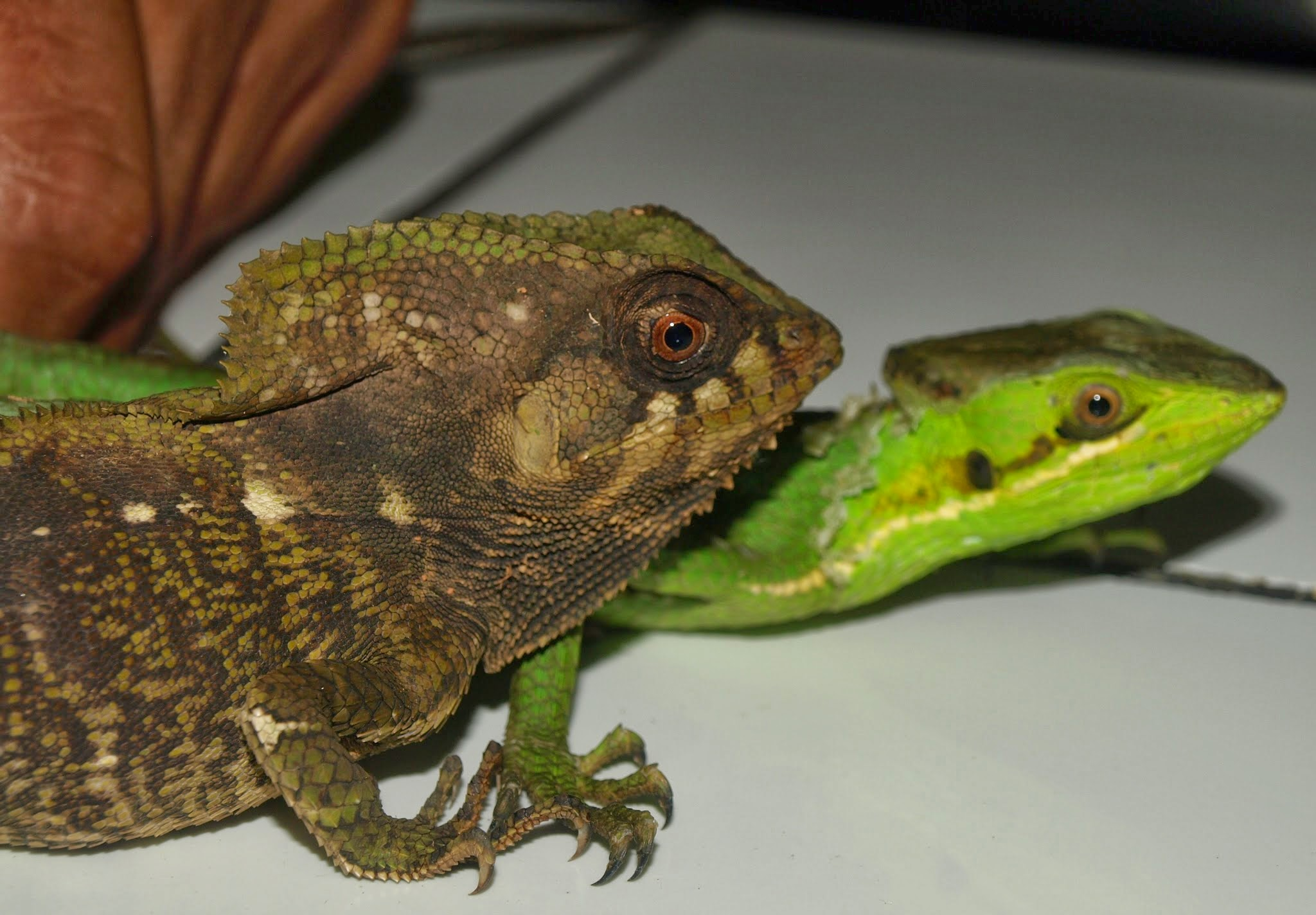 Why Keeping Two Bearded Dragons Together is a Very Bad Idea